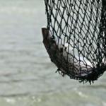 pelagische visserij